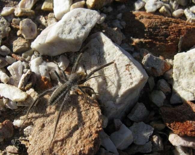 Фаланга – монстр из класса паукообразных (16 фото)