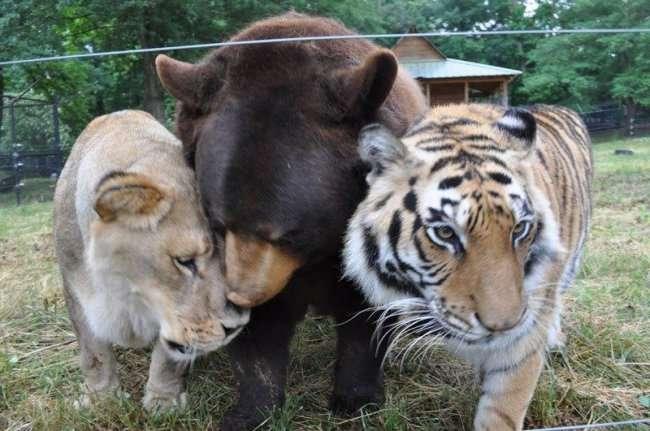 Трио BLT (Балу, Лео, тигр Шер-Хан)