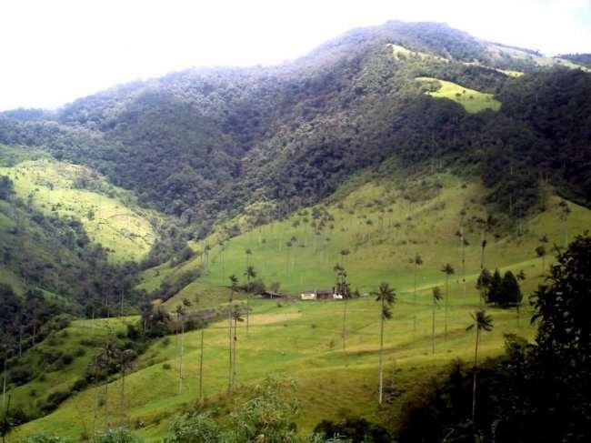 Долина Кокора - место где растут самые высокие пальмы (11 фото)
