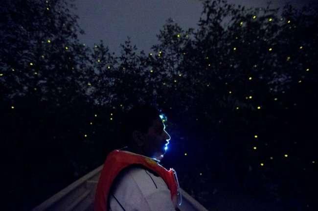 Колония светлячков в Малайзии (8 фото)