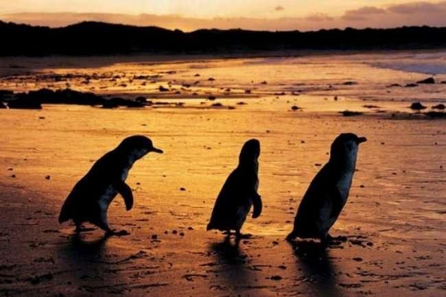 Одежда для австралийских пингвинов-сирот (10 фото)