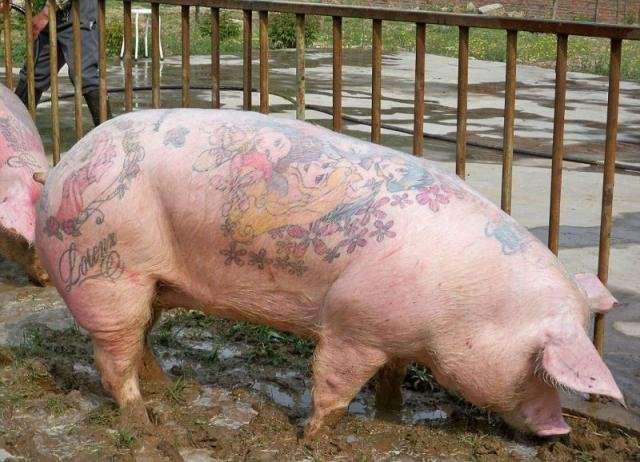 Мастер нанесения татуировок на свиней (10 фото)