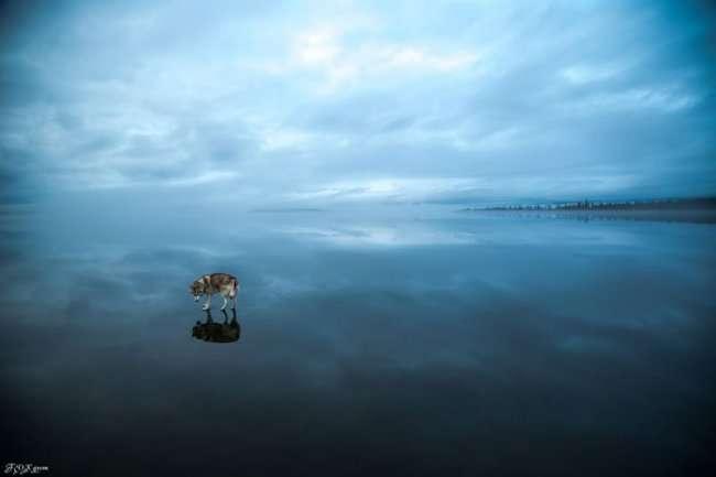 Хаски на воде от Фокса Грома (10 фото)
