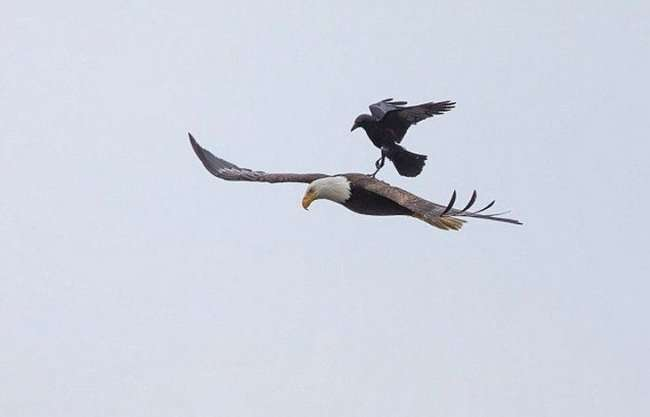 Ворон немного отдохнул на спине орла во время полета (10 фото)