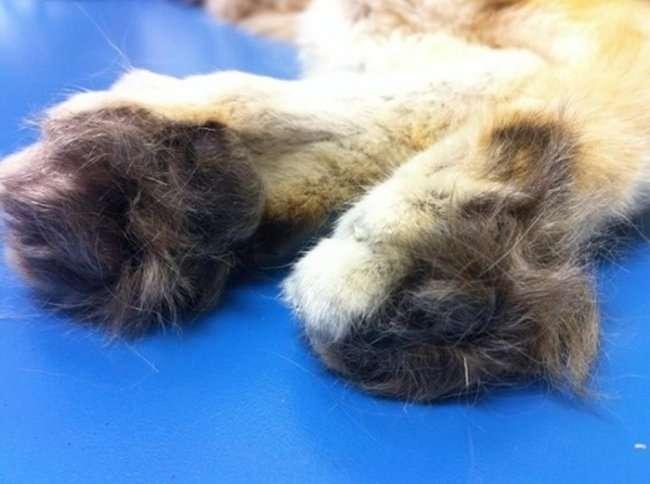 Барханный кот - кот, который всегда остается похожим на котенка (7 фото)