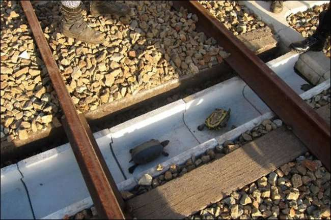 Тоннель для черепах под рельсами (3 фото)