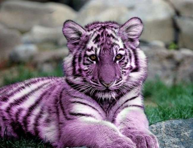 Существует ли мальтийский голубой тигр на самом деле? (3 фото)