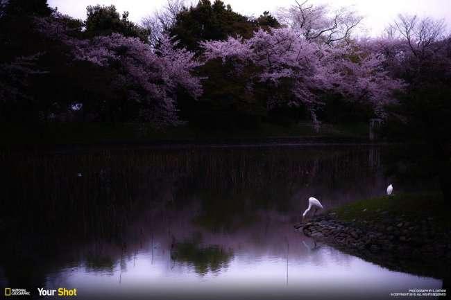 Цветение сакуры в Японии (8 фото)