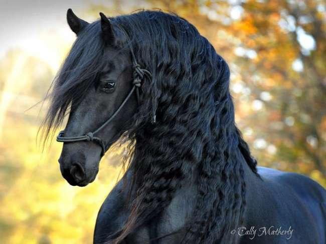 Красивейший конь в мире Фридрих Великий (13 фото)
