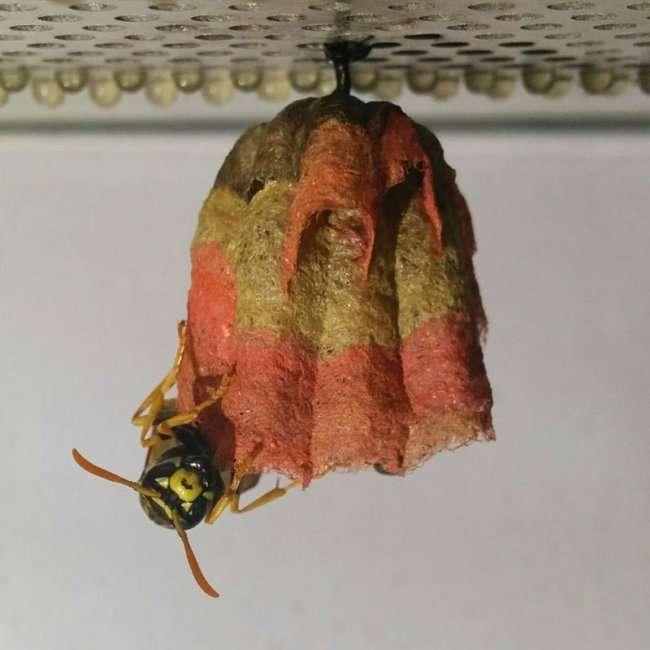 Радужные гнезда ос (12 фото)