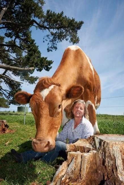 Самая большая корова достигает в высоту два метра